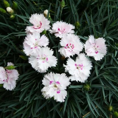 Dianthus Kim Brown