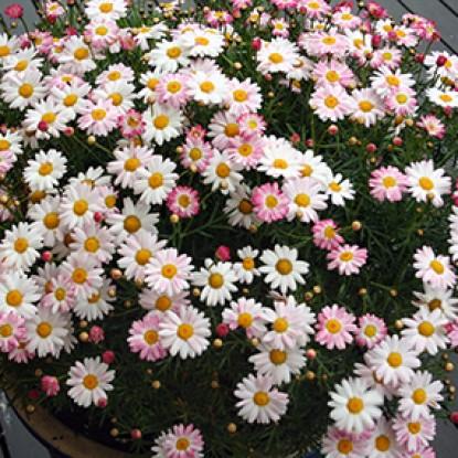 Argyranthemum 'Peppermint'