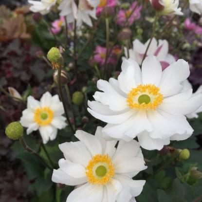 Anemone japonica 'Snow Angel'